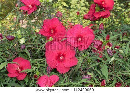 Disco Belle Rosy Red Hibiscus (Hibiscus Moscheutos)