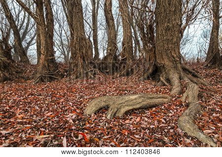 Tree Roots With Fallen Autumn Leaves In A Hazy Day