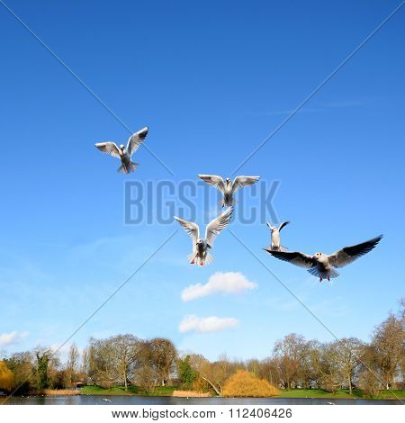 Gulls spreading wings