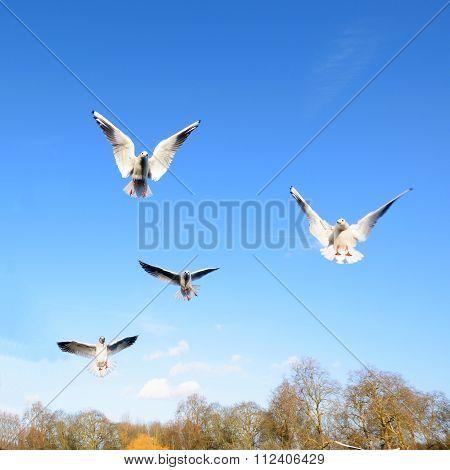 Gulls spreading wings