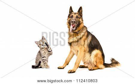 German Shepherd dog  and kitten Scottish Straight
