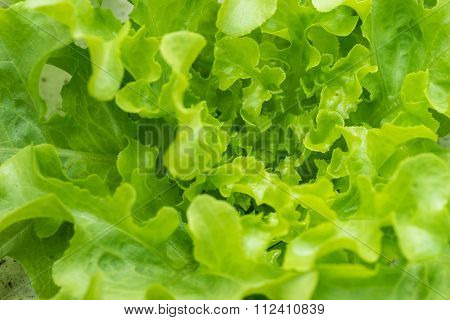Sprout Green Oak Lettuce Hydroponic , Close Up