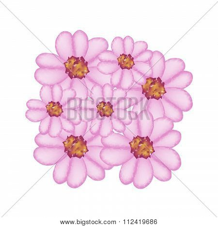 Purple Yarrow Flowers Or Achillea Millefolium Flowers