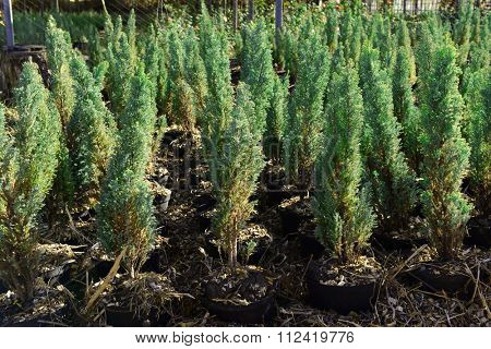 Hedge of thuja trees, close up