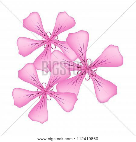 Pink Rose Geranium Flowers Or Pelargonium Graveolens Flowers