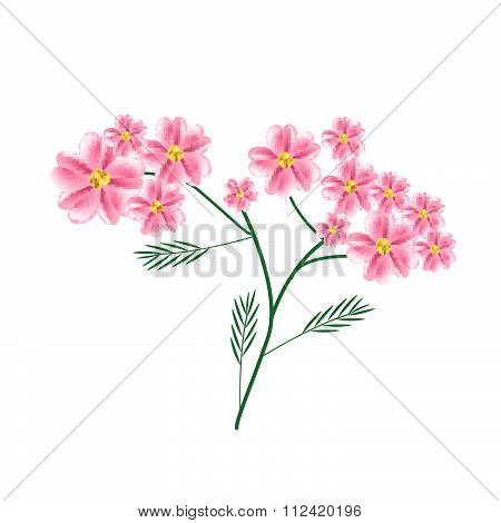 Blossoming Of Old Rose Yarrow Flowers Or Achillea Millefolium Flowers