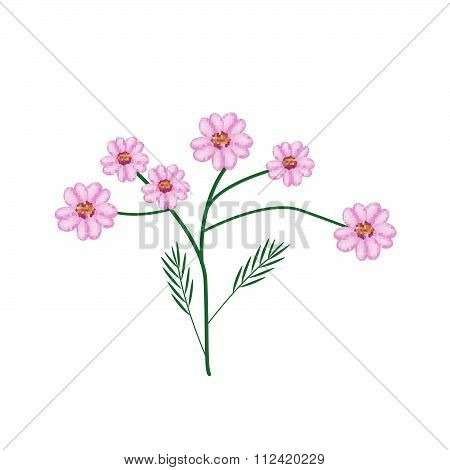 Blossoming Of Purple Yarrow Flowers Or Achillea Millefolium Flowers