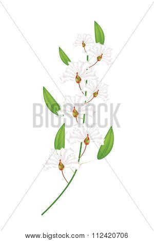 Bunch Of White Crape Myrtle Flowers On White Background