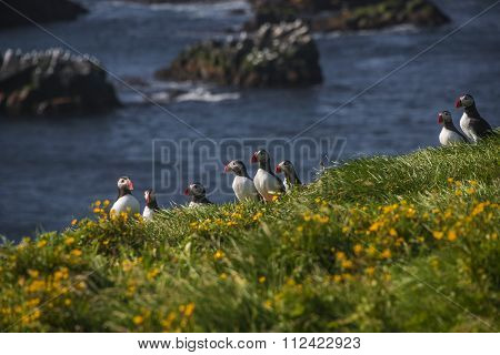 Icelandic Puffins At Remote Islands, Iceland, Summer, 2015