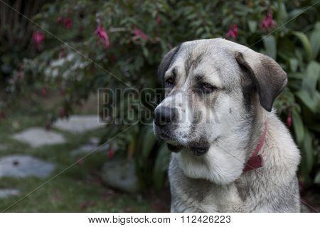 Head Of A Mastiff