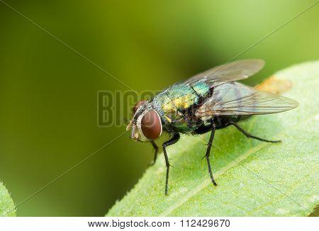 Green Fly On Green Leaf