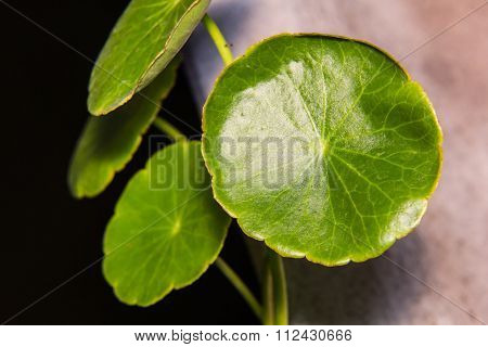 Asiatic Pennywort (centella Asiatica) Or Gotu Kola Leaf Herb Alternative Medicine, Macro