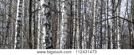 Trunks of birch trees in early spring, beautiful panorama
