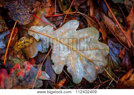 Autumn oak leafs - abstract natural background