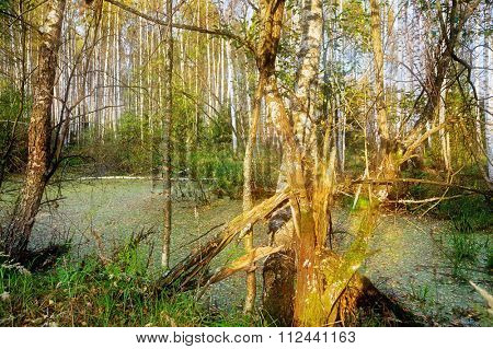 old tree in the swamp in the forest in the sunlight