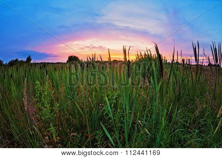 cattail in a field at sunset. fisheye view