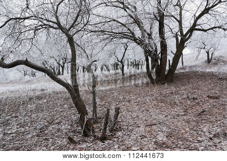 Frosted Tree In Forest