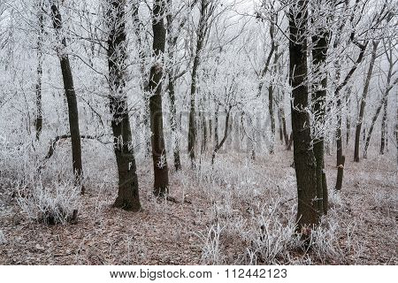Morning Frosted Forest