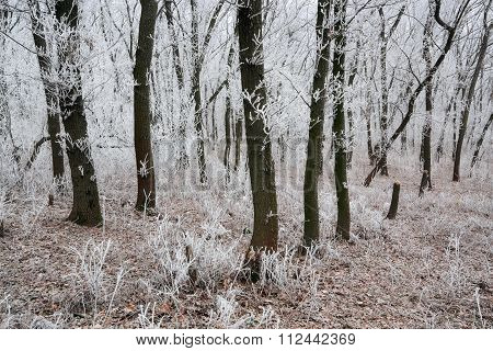 Morning Frosted Forest Ii