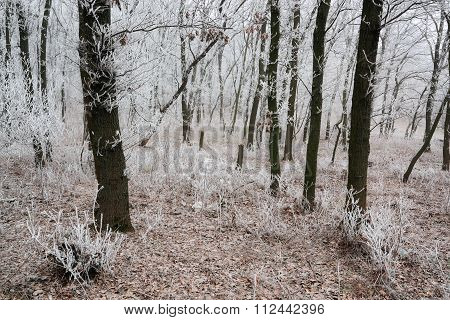 Morning Frosted Forest Iii