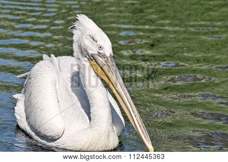 The Big White Pelican With A Long Beak