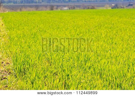 View Of Green Field Of Wheat Against Leafless Trees In Spring