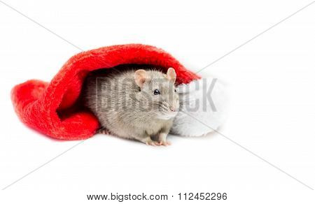 Gray Rat Under Christmas Stocking - Left Side