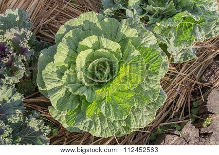 Cabbage With Warm Sunlight
