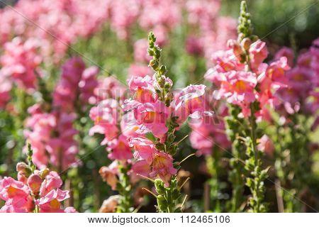 crimson antirrhinum (snapdragon) flower