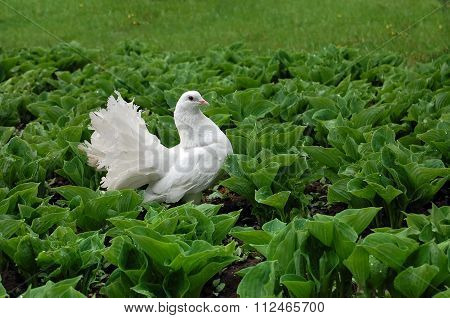 White pigeon in the green grass