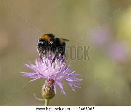 Bumble-bee Works On  Flower