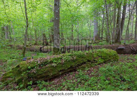 Moss Wrapped Part Of Broken Oak Lying