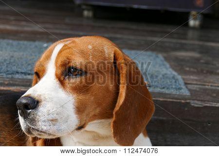 Beagle Dog Sitting On The Floor
