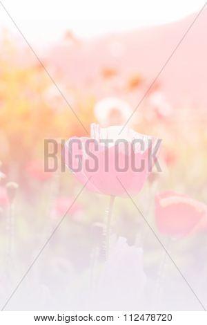 Opium Poppy Flower