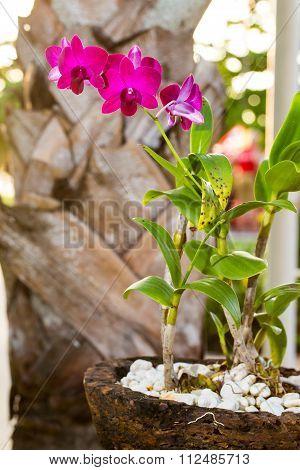Beautiful Pink Azalea Flowers Tropical Flowers. Desert Roses In The Garden Thailand, Phuket