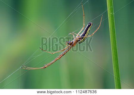 Long Jawed Spider (Tetragnatha Extensa)