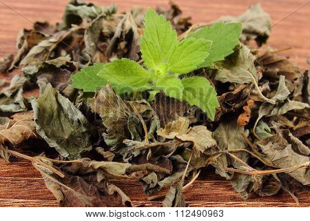 Fresh And Heap Of Dried Lemon Balm On Wooden Table, Herbalism