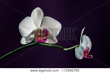 White Orchid Phalaenopsis on violet