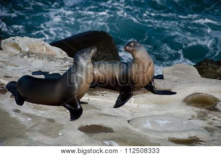 Flirting Couple Of California Sea Lions Near La Jolla Cove