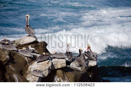 Pelicans On Rocks At Point La Jolla