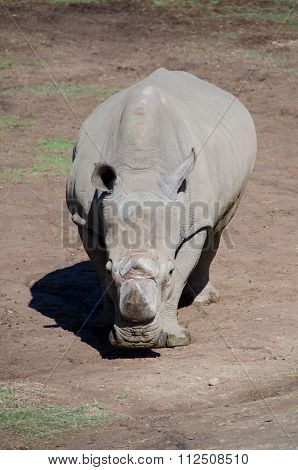Portrait Of Seemingly Unfriendly White Rhino Staying In Plains Of A Safari Park