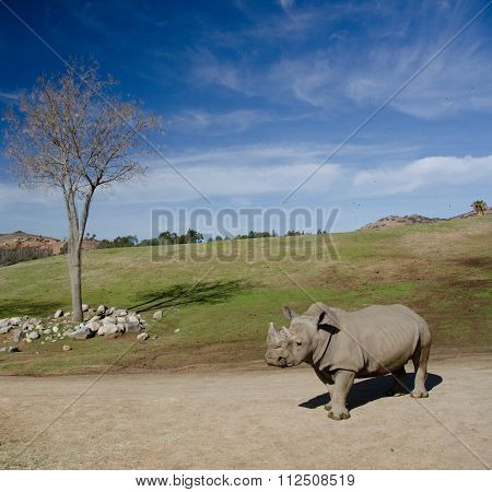 Landscape With A Dry Tree And A White Rhino Under Blue Skies