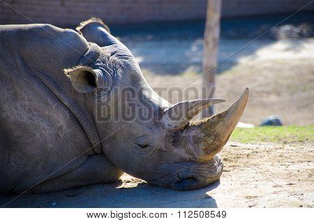 Resting Black Rhino