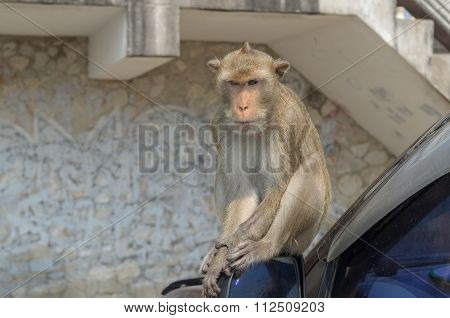 Portrait Of A Monkey On Car.