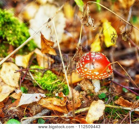 fly-agaric in a autumn forest in the sunlight