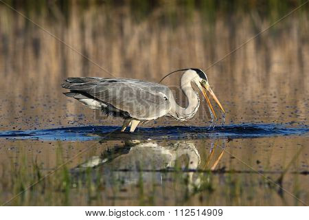 Grey Heron, Ardea Cinerea Fising In The Bog