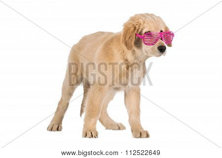 Golden Retriever Puppy With Pink Slot Glasses Isolated On White