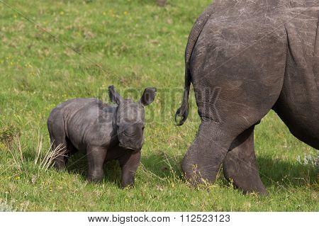 Cute one week old baby Rhino standing behind it's mother