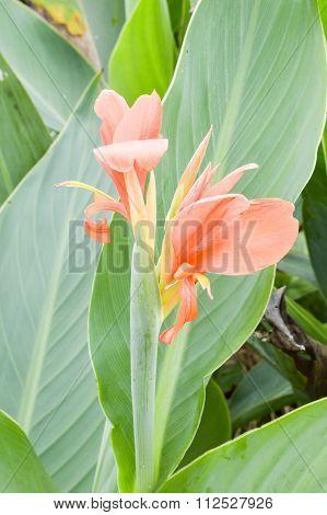 canna flower in garden