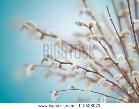 willow twigs with catkins
